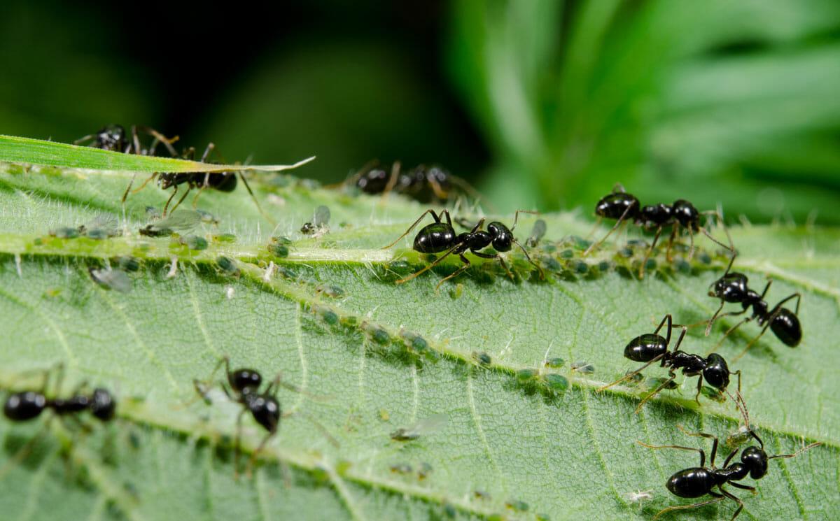 Уничтожите муравьев – останетесь без кабачков