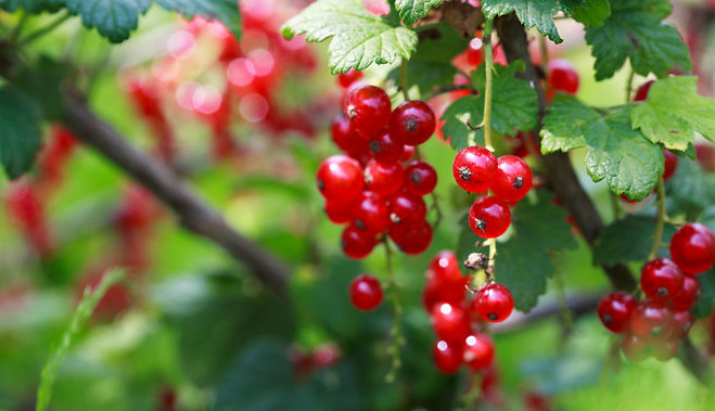 Как и чем подкормить смородину и крыжовник осенью