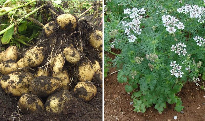 грядки на даче для картофеля
