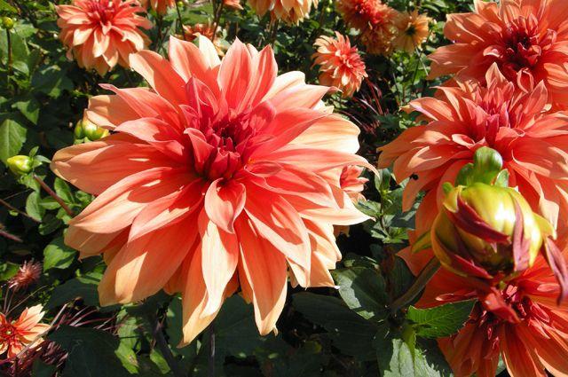Больше красоты! Можно ли увеличить цветы георгин?