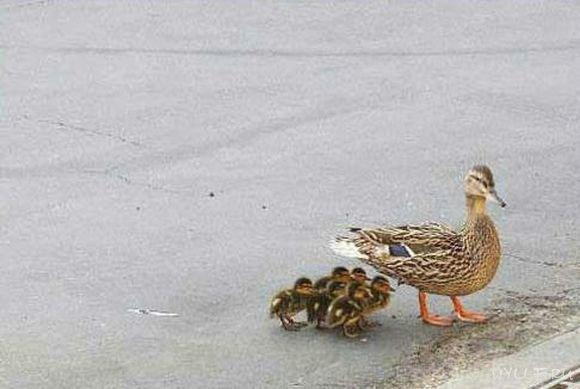 Утка растеряла своё потомство....
