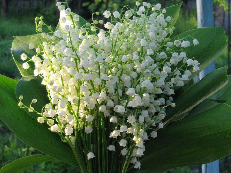 Майский цветок может дорого обойтись