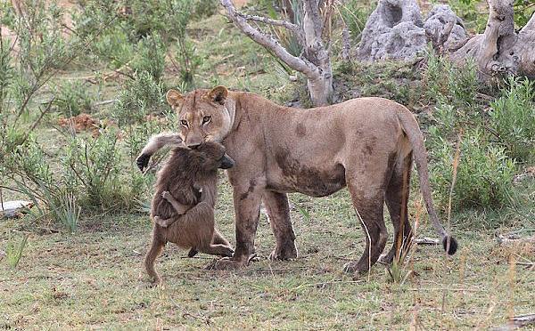 Обычное дело - львица убила бабуина. Но то, что произошло дальше, повергло фотографов в ступор