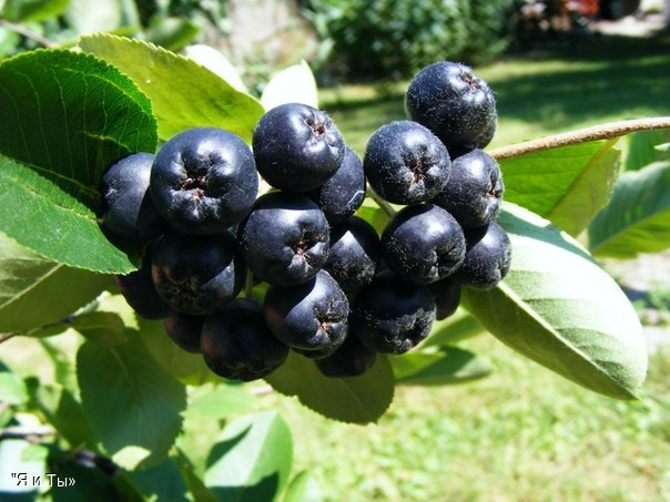 Черная чудо-ягода.