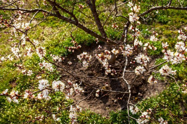 Young well-groomed and earthed up apricot tree in blossom.