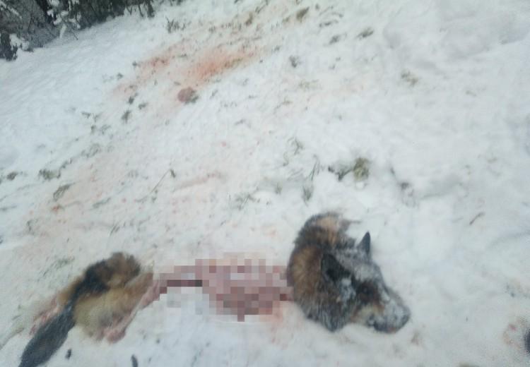 25 ноября волки загрызли, сняли с цепи и утащили собаку у одной из жительниц Чердыни. Останки своего питомца женщина нашла за километр от дома. Фото предоставлено жителем Чердыни