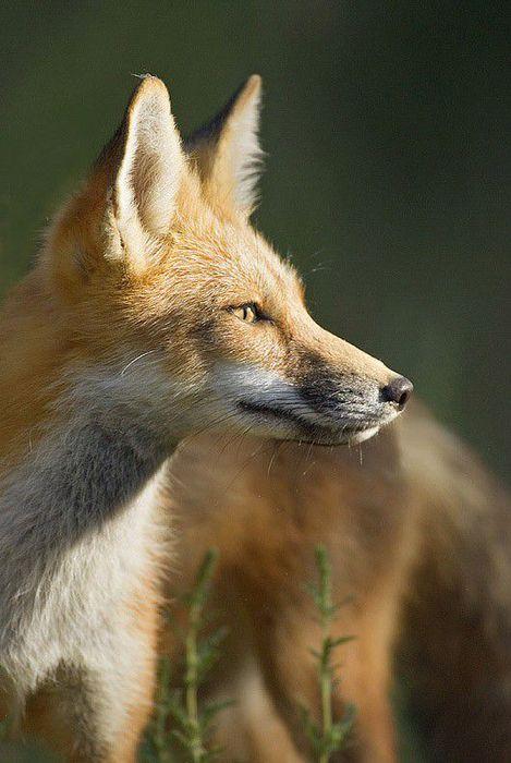 fox_20120409_00640_029 (469x700, 53Kb)
