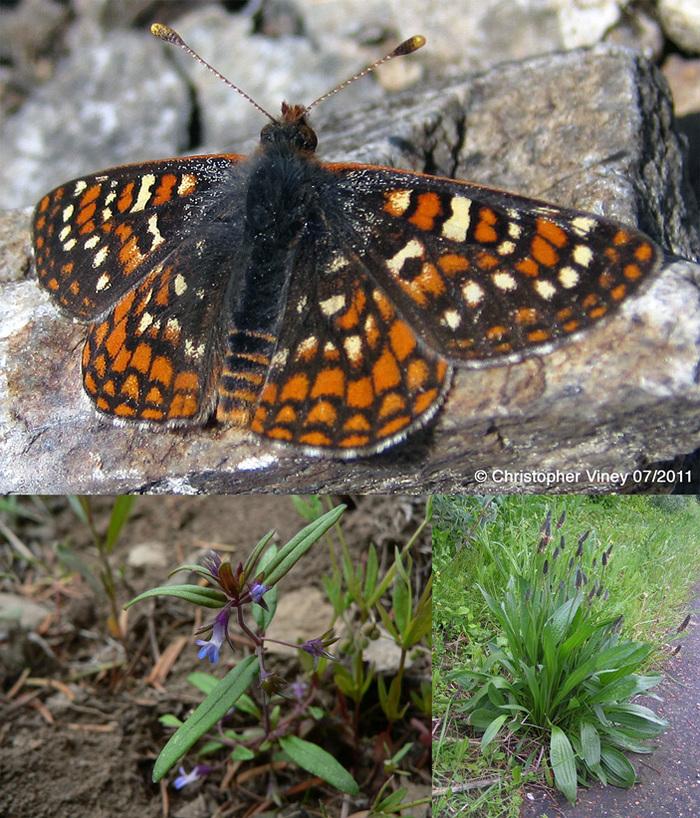 Слишком быстрая адаптация к новым условиям завела бабочек в «эволюционную ловушку» Эволюция, бабочка, интересное, наука, биология, длиннопост, elementyru, Копипаста