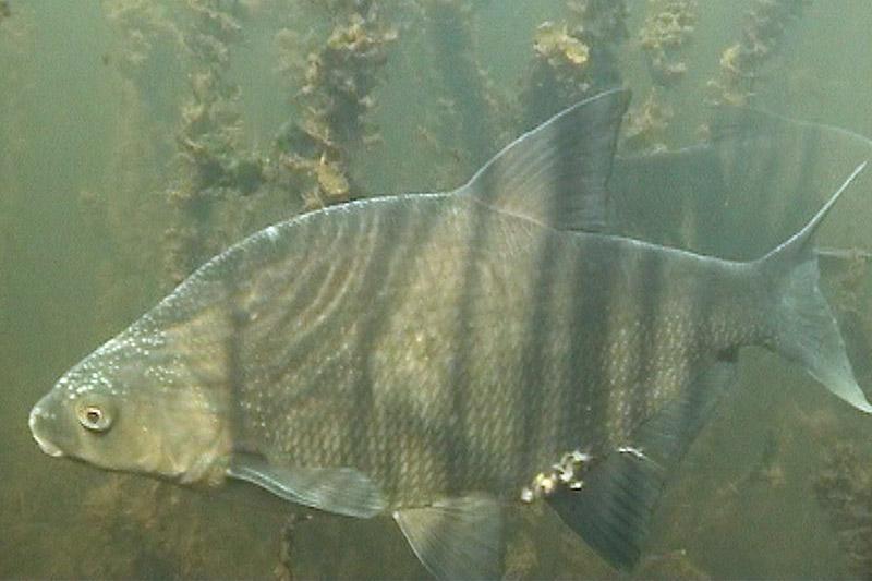 лещ клюет под водой