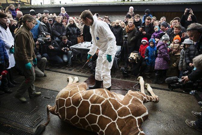 Обиделись из-за жирафа: Дани…
