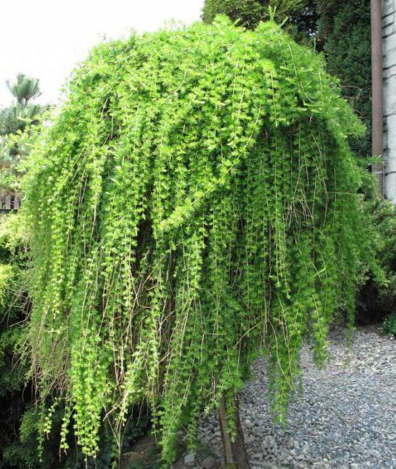 Обязательно посадите! 6 необычных хвойных растений, которые зимуют в средней полосе