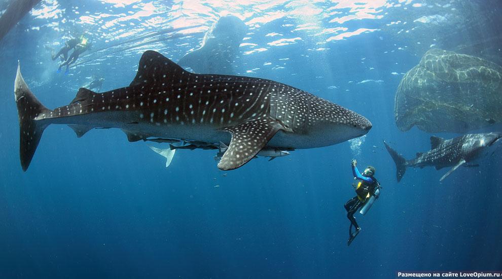 Найдена причина загадочного поведения китовых акул