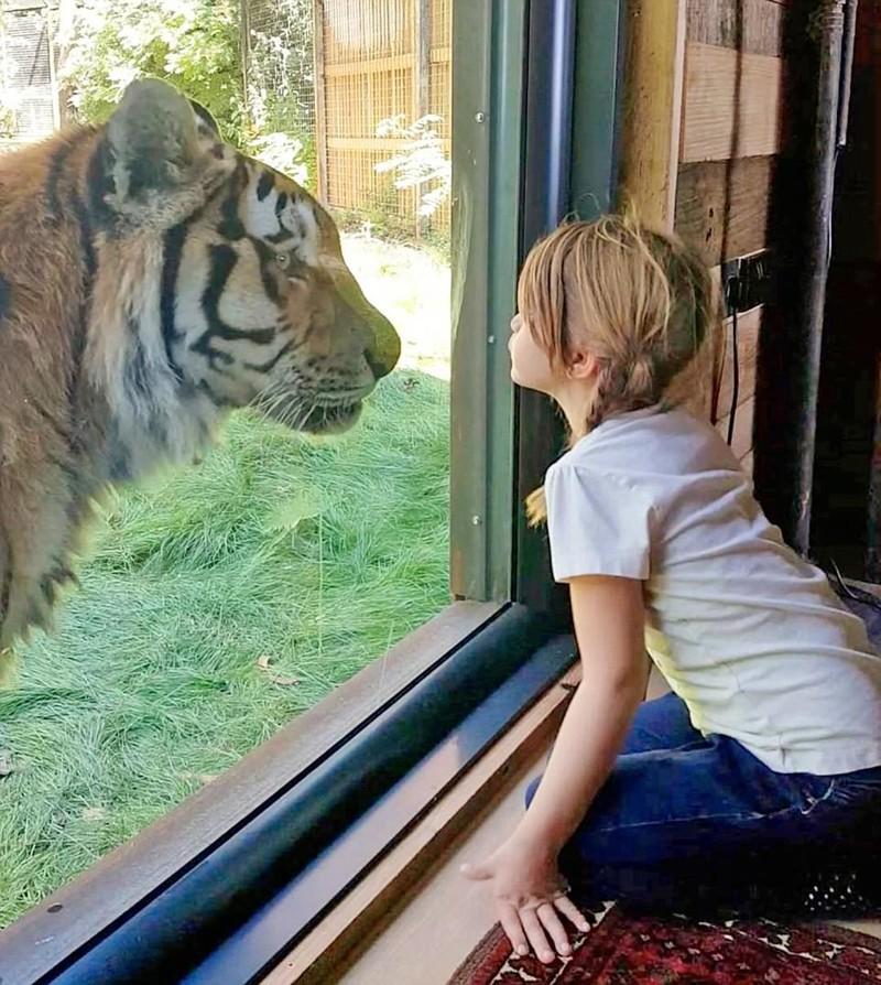 Сафари-парк в Британии: провести ночь с тиграми и остаться в живых