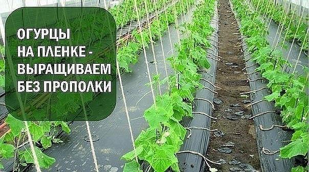 Простой, но урожайный способ! Выращивание огурцов на пленке
