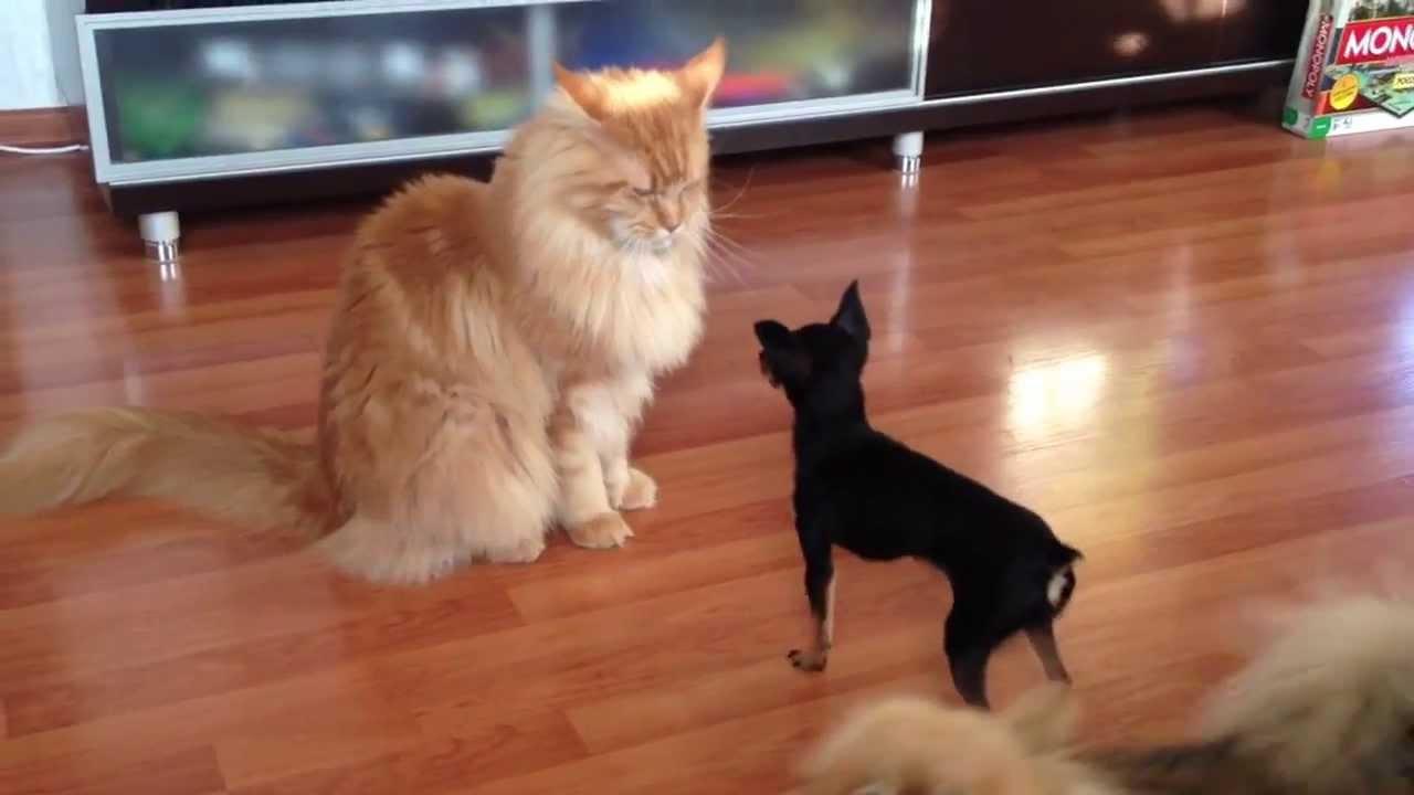 Как кот расправился с обидчицей