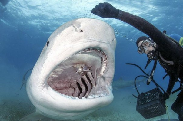 Дайвинг с тигровыми акулами
