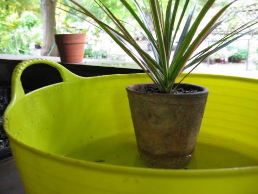 Поставьте горшок с растением в в емкость с водой.