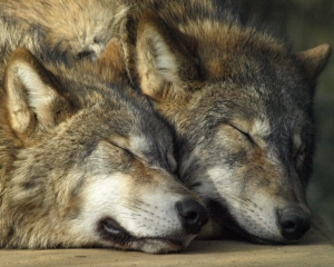 От волка - к другу. Прирученные волки и одичавшие собаки – кто они?