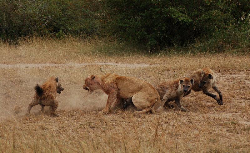 История про львицу и беременную олениху 84