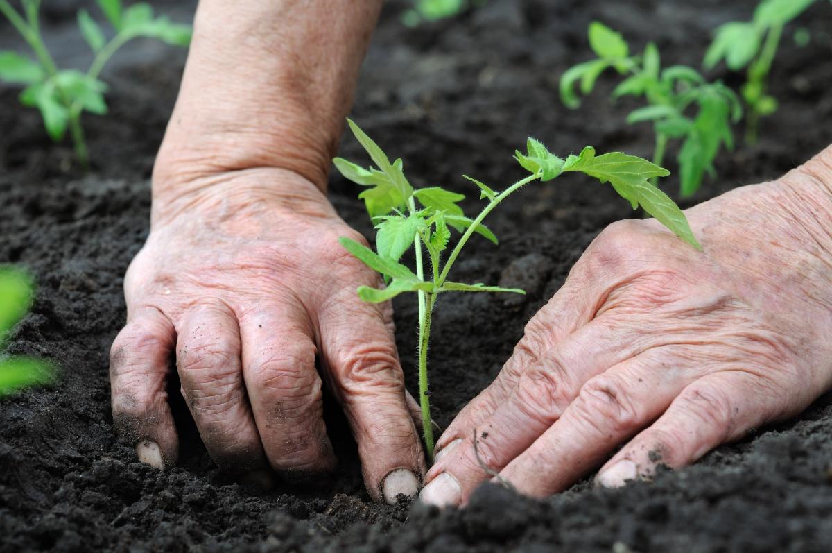 Перед высадкой в грунт рассаду полезно опрыснуть...