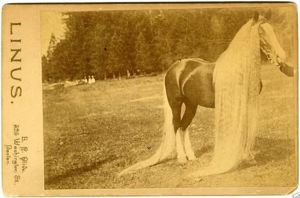 Линус - самая длинногривая и длиннохвостая лошадь в мире