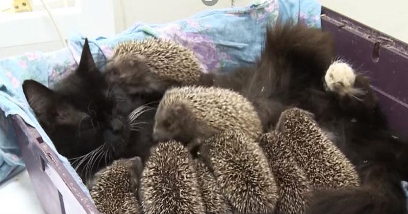 8 маленьких ежат остались сиротами. Рядом оказалась кошка, и она сделала нечто совершенно непредсказуемое!