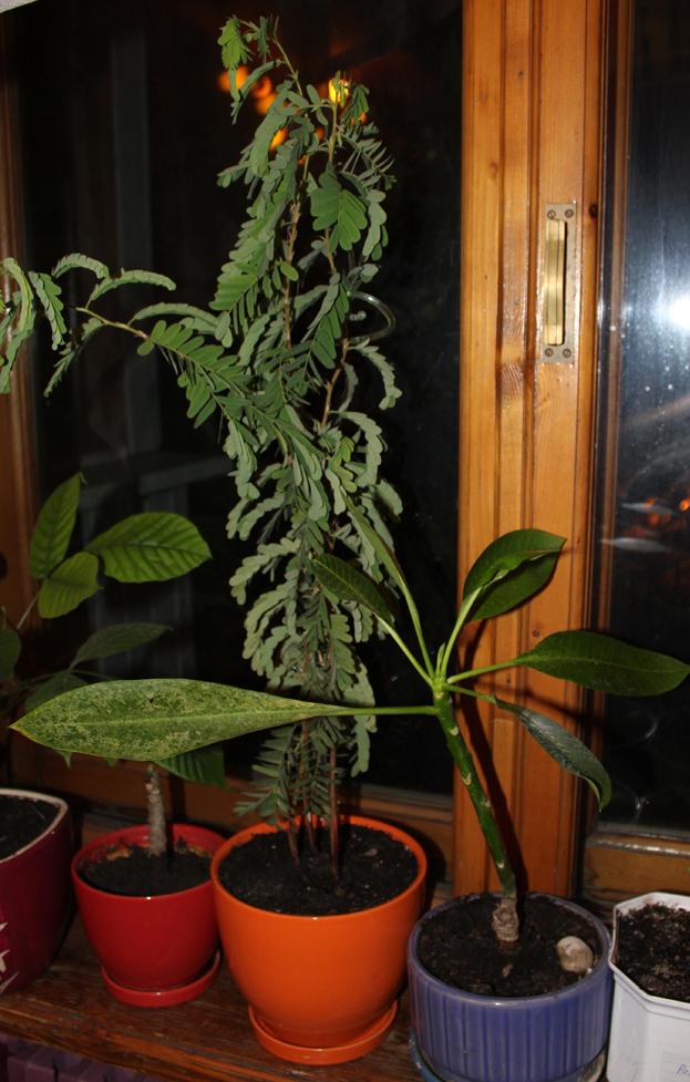 Вырастить мангостин в домашних условиях 20