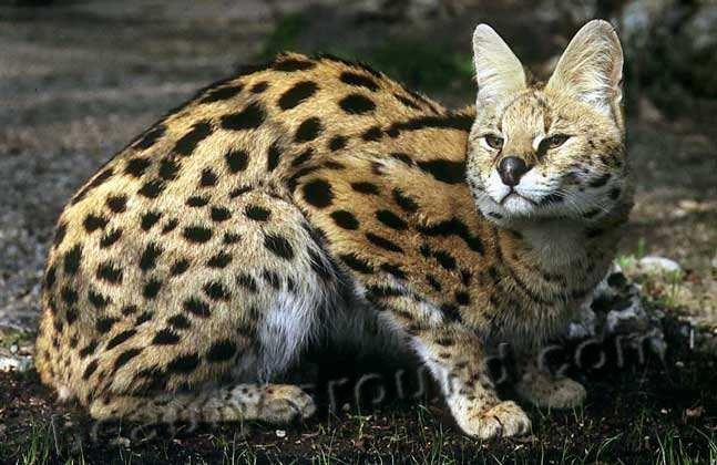 ТЕРЕМОК. Самые красивые представители семейства кошачьих