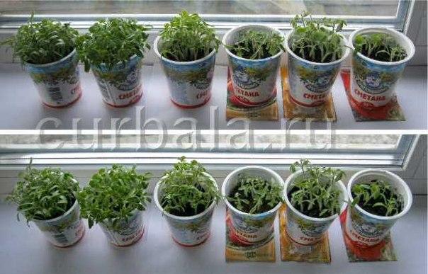 Лаванда южанка выращивание из семян дома 699