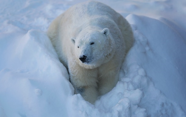 На Аляске белый медведь устр…