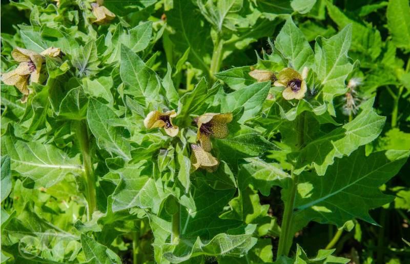 Опасные ядовитые растения, которые можно встретить в саду или в огороде