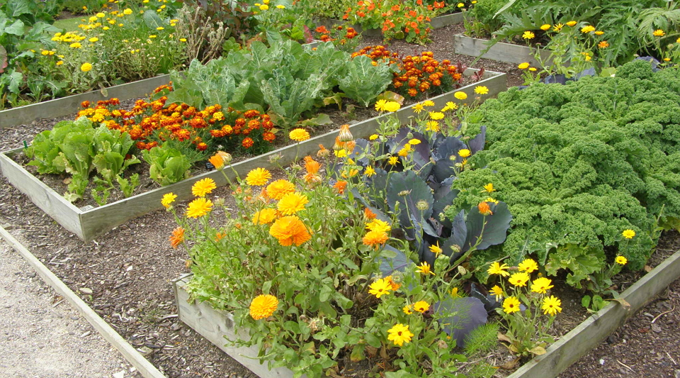 Совмещаем приятное с полезным: какие цветы посадить на овощной грядке