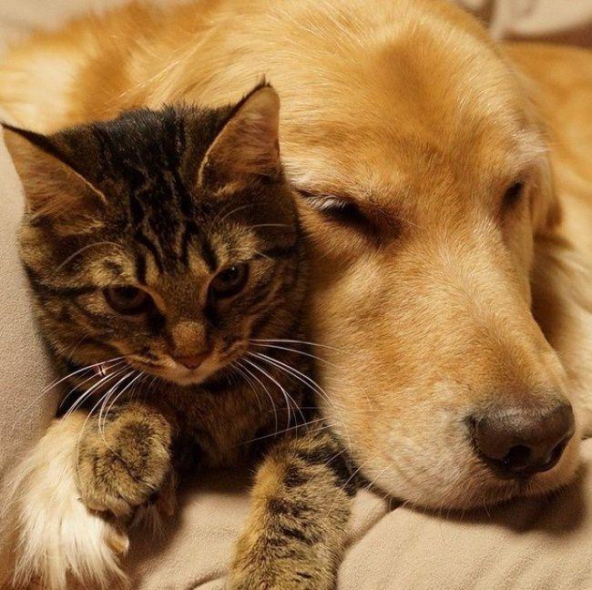 Котенок подружился с большим псом кот, собака, дружба