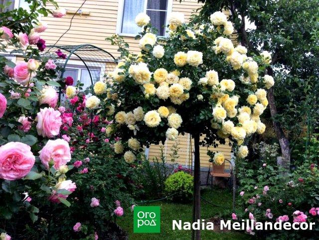 штамбовая роза Nadia Meillandecor