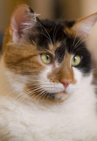 Кошки окраса Калико. Кто они?