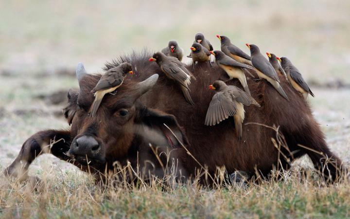 Стайка волоклюев облепила молодого буйвола.