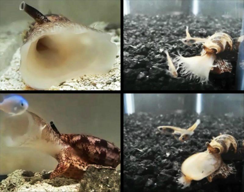 Хищные морские улитки поражают жертву инсулином