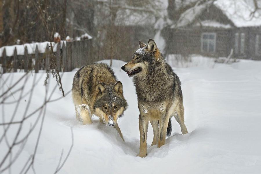 Застрелил волка: доброе дело оборачивается преследованием охотника