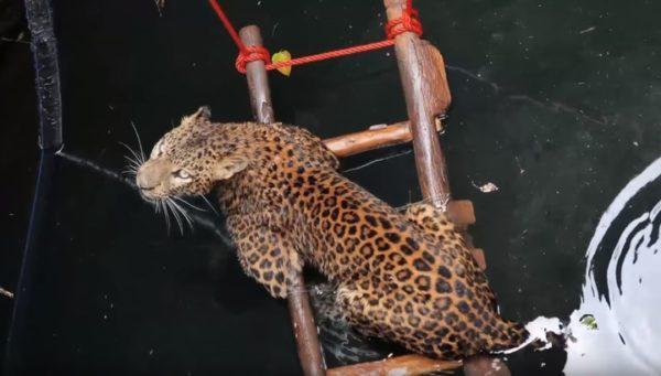 Как спасли леопарда, упавшего в колодец