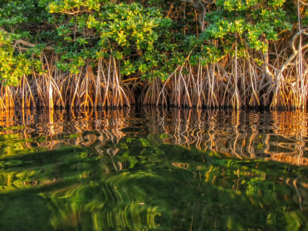Молочные мангровые заросли