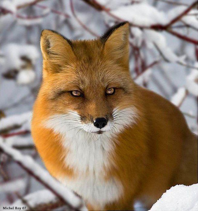fox_20120409_00640_073 (655x700, 68Kb)