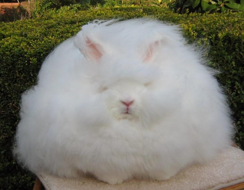 ангора-кролик-5