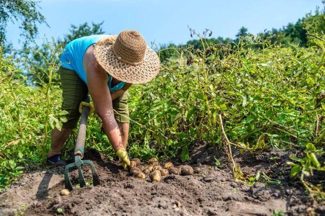 Копать картошку в этом году можно позже на две недели.