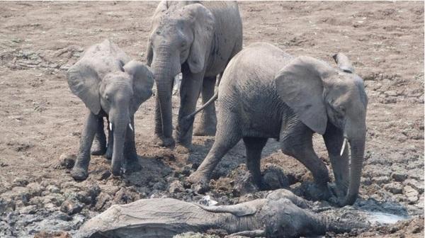 Они увидели слоненка и его мать, умирающих в грязи. А что было дальше? Просто невероятно!