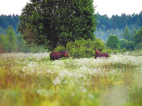 Лоси в сезон миграции