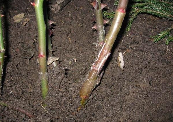 Как выращивать кора шиповника мочекаменная болезнь буду