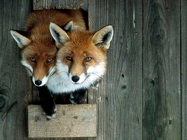 fox_20120409_00640_013 (600x450, 60Kb)