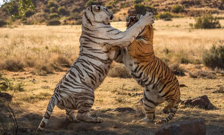 Тигриная битва