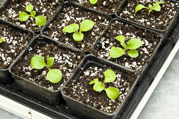 Петуния выращивание из семян пошагово с