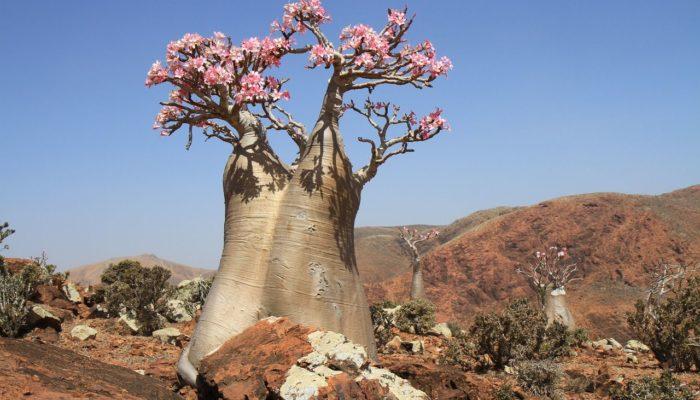 Баобаб: одно из самых удивительных деревьев планеты